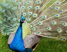 Free Peacock With Feathers Spread Royalty Free Stock Images - 16651919