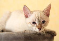 Thai Kitten. Stock Photos