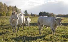 Free Cow Stock Photo - 16652410