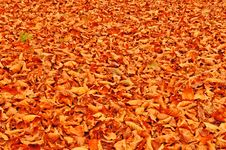 Free Fallen Beach Leaves Autumn Background Stock Image - 16652711