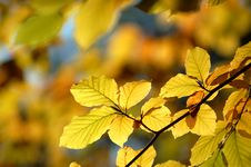Free Hazel Leaves In The Autumn Royalty Free Stock Images - 16653269