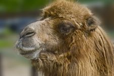 Free Camel Stock Photography - 16654692