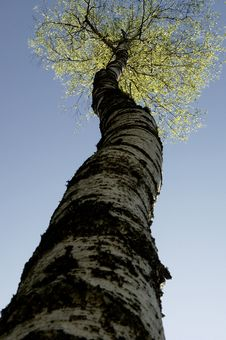 Free Birch Tree Stock Images - 16654884