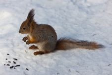 Free The Squirrel In Winter Royalty Free Stock Photos - 16655448