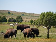 Colorado Bison Stock Image