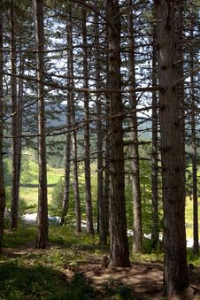 Free Trees In Forest Stock Photo - 16656150