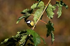 Free Parus Major Perched Royalty Free Stock Photography - 16657027