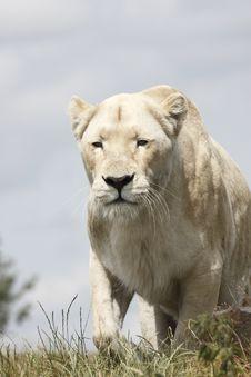 Lioness Hunts Stock Photos