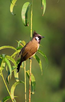 Red-whiskered Bulbul Royalty Free Stock Photo