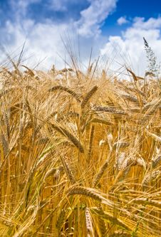 Free Yellow Wheat In Cloud Blue Sky Background Stock Photo - 16657310