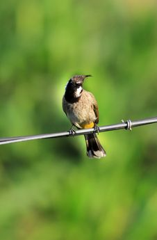 Curious Bird  Bulbul  Royalty Free Stock Photos