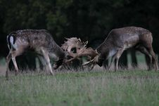 Free Fallow Deer Stock Photography - 16657522