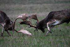 Free Fallow Deer Royalty Free Stock Photos - 16657608