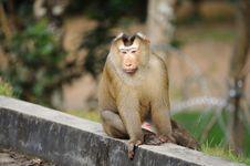 Free Monkey Royalty Free Stock Photos - 16658498