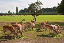 Fallow Deer Herd Grazing Stock Image