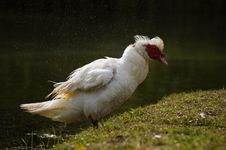 Free Wild Shaking Duck Royalty Free Stock Image - 16658796