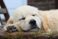Free Sleeping Golden Retriever Pup Stock Images - 16660024