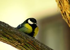 Free Parus Major Royalty Free Stock Photo - 16663985