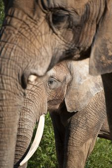 Free African Elephants Royalty Free Stock Photo - 16664395