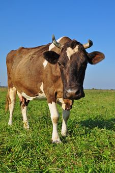 Free Cow On A Summer Pasture. Stock Photos - 16667603