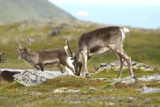 Reindeer In Norway Stock Images