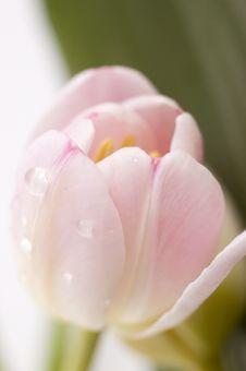 Free Pink Tulip Royalty Free Stock Photo - 16668565
