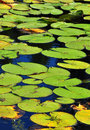 Free Lotus Leafs In A Pond Royalty Free Stock Photography - 16671057