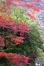 Free Japanese Autumn Tress Royalty Free Stock Photos - 16671778