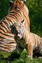 Free Tiger Cub Stock Photo - 16672450