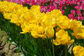 Free Field Of Yellow And Pink Tulips Stock Images - 16679284