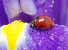Free Ladybug Stock Photography - 16670402