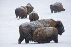 Free Bison Nursing Stock Photos - 16670673