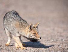 Free Patagonian  Grey Fox (Dusicyon Culpaeus). Royalty Free Stock Photos - 16671818