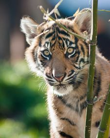Free Tiger Cub Royalty Free Stock Image - 16672436