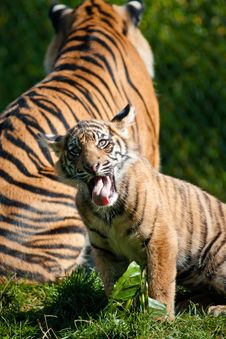Free Tiger Cub Stock Photo - 16672450
