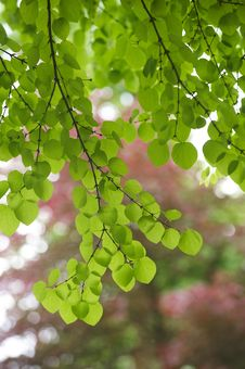Free Backlit Green Leaves Royalty Free Stock Photos - 16672588