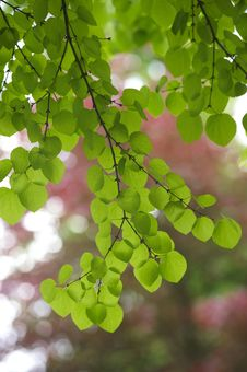 Free Backlit Green Leaves Royalty Free Stock Photography - 16672597