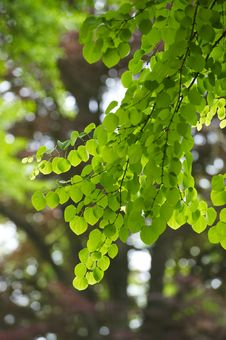 Free Backlit Green Leaves Royalty Free Stock Photo - 16672605