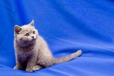 Free British Shorthair Blue Kitten Stock Photography - 16672952