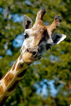 Free Giraffe Royalty Free Stock Photography - 16673027