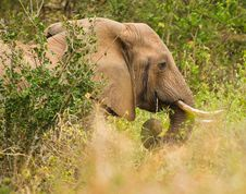 Free African Male Elephant Royalty Free Stock Image - 16673196
