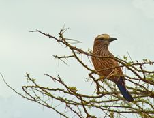 Free The Rufous-crowned Roller Royalty Free Stock Image - 16673506