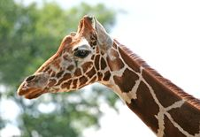 Free Giraffe Royalty Free Stock Images - 16674699
