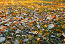 Free Sunny Carpet Of Autumn Leafs. Royalty Free Stock Images - 16675029