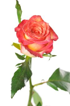 Free One Rose With Green Leaves On A White Background Royalty Free Stock Photography - 16675207