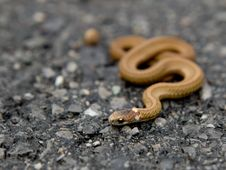 Free Small Brown Snake Stock Image - 16675231