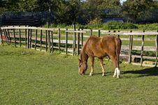 Nice Chestnut Horse Royalty Free Stock Photo