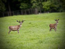Free Red Deer Stock Photos - 16677683