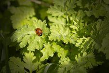 Free Six Spot Ladybird Royalty Free Stock Image - 16677726