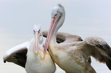 Free Pelican In Love Stock Image - 16680671